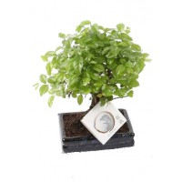 Bonsai Zelkova Parvifolia Olmo chino