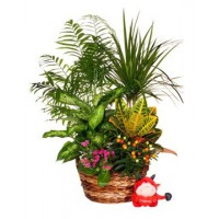 Cesta de mimbre con mix de plantas