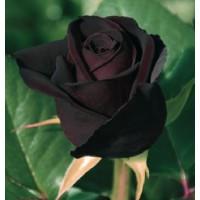 ROSAL GRAND. BLACK BACCARA