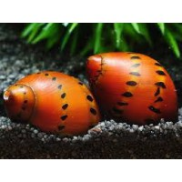 CARACOL RED SPOTTED