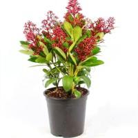 skimmia-japonica-mac15-cms-alto-40-cms
