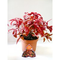 nandina-domestica-fire-power-3l-25cm-alto