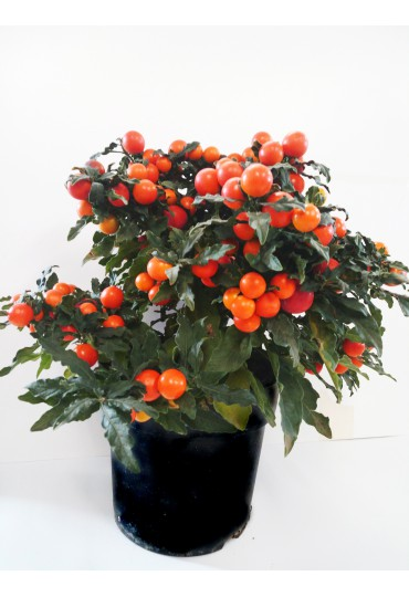 solanum-apple-of-love-