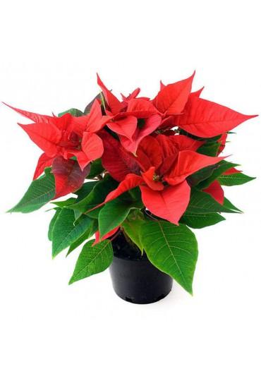 flor-de-pascua-poinsettia-m-12-cms