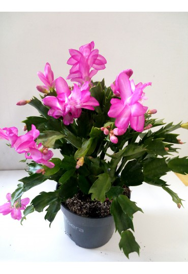 schlumbergera-cactus-de-navidad_2