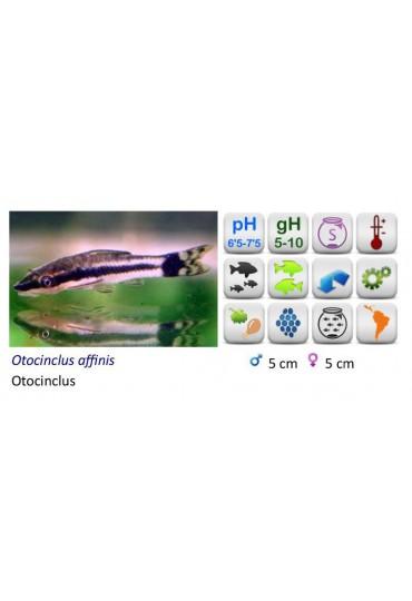 OTOCINCLUS