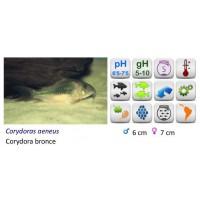 CORYDORA AENUS BRONCE