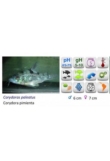 CORYD. PALEATUS PIMIENTA