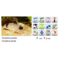 CORYD. PANDA