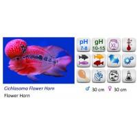 CICHLASOMA FLOWER HORN