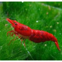 GAMBA NEOCARIDINA SUPER RED