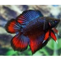 BETTA MACHO TWIN TAIL