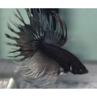 BETTA MACHO COLA CORONA NEGRO METALICO
