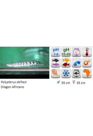 POLYPTERUS DELHEZI