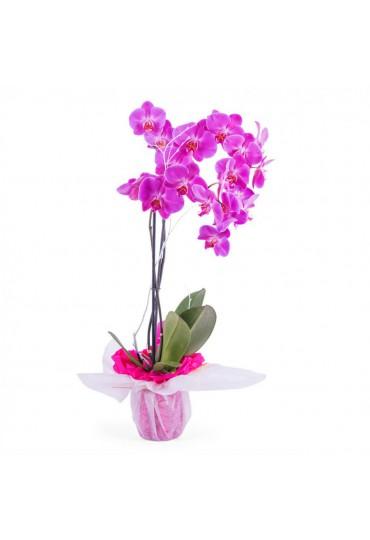 Orquídea-Phalleanopsis para regalo